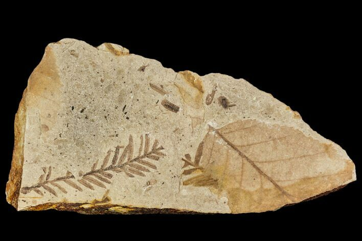Fossil Metasequoia And Alder Plate- Cache Creek, BC