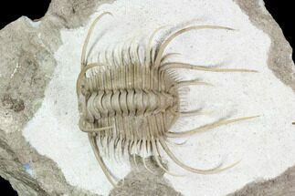 Buy Insane Boedaspis Trilobite - Incredible Preparation (Special Price) - #51331