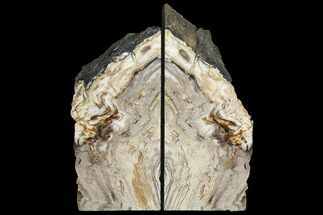 "Buy 8.2"" Tall, Petrified Wood Bookends - Oregon - #111112"