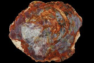 "Spectacular, 19.4"" Petrified Wood (Araucarioxylon) Slab - Arizona For Sale, #111113"