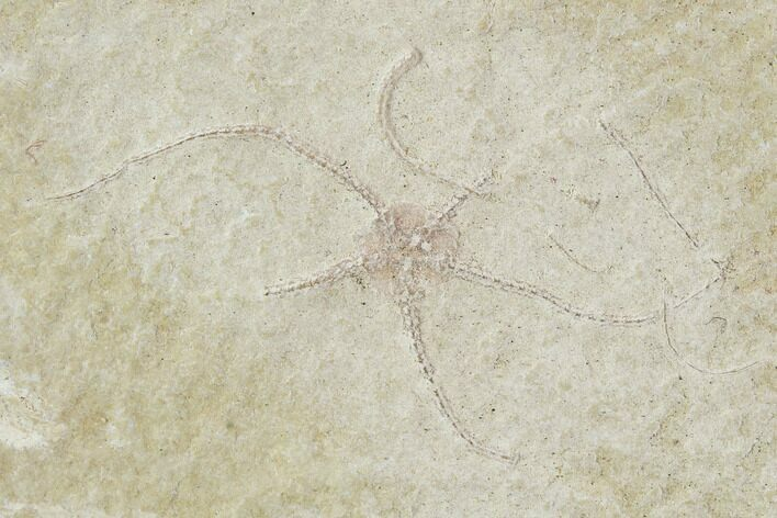 Two Jurassic Brittle Star (Ophiopetra) Fossil Plate - Solnhofen