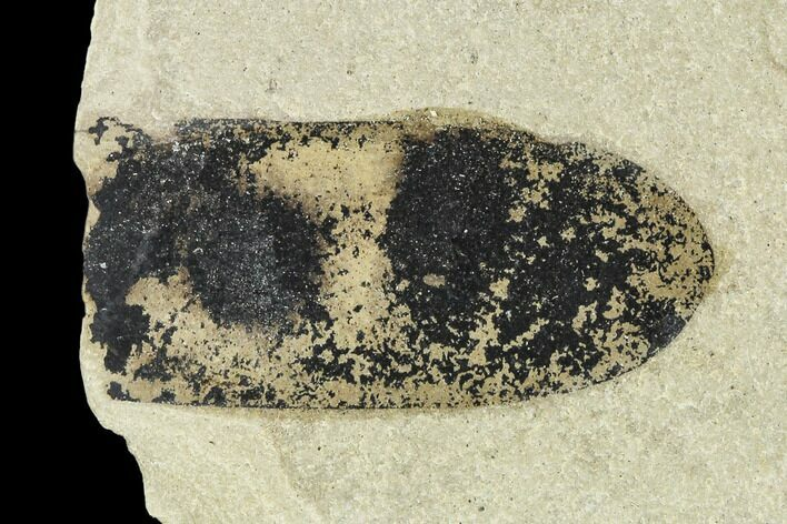 "1.3"" Fossil Legume (Mimosites) Pod - Green River Formation, Utah"