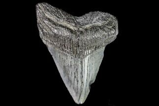 Carcharocles megalodon - Fossils For Sale - #111612