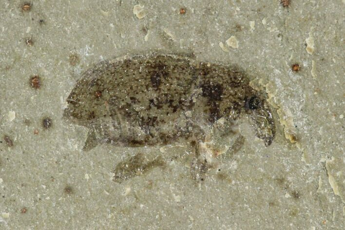 ".30"" Fossil Weevil (Snout Beetle) - Green River Formation, Utah"