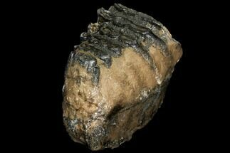 "Bargain, 6.2"" Partial Southern Mammoth Molar - Hungary For Sale, #111857"