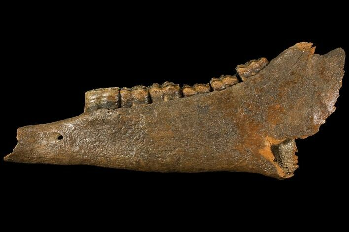 "12.9"" Fossil Horse (Equus) Jaw - River Meuse, Germany"