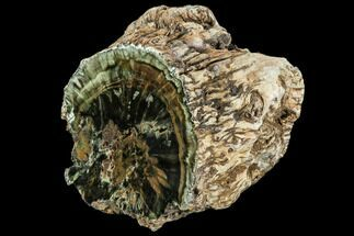 "Buy 7.2"" Triassic Woodworthia Petrified Log - Zimbabwe - #112036"