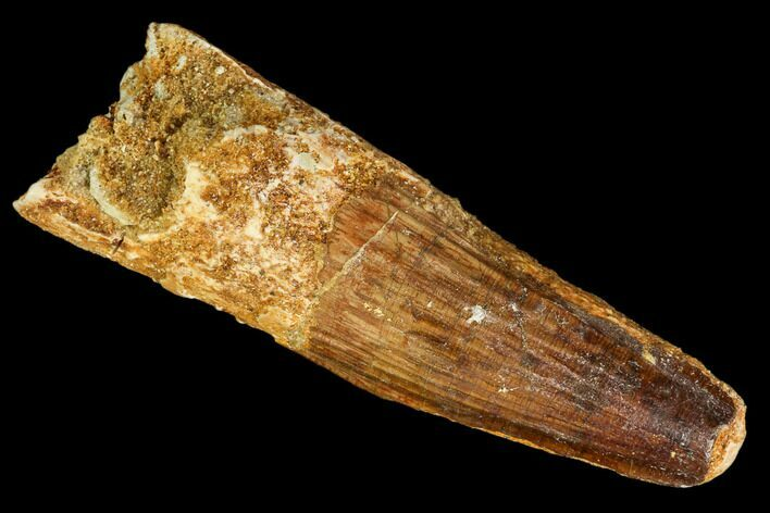 "2.9"" Real Spinosaurus Tooth - Real Dinosaur Tooth"