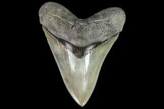 "Buy Serrated, 5.17"" Fossil Megalodon Tooth - Collector Quality - #112612"