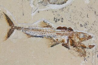 "Buy 5"" Cretaceous Predatory Fish (Eurypholis) & Two Shrimp - Lebanon - #112651"