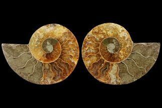 "Buy 3.6"" Agatized Ammonite Fossil (Pair) - Madagascar - #111523"