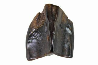 "Buy .28"" Fossil Hadrosaur (Edmontosaurus) Shed Tooth- Montana - #110971"