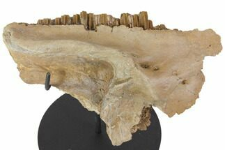 "7.7"" Hadrosaur (Gryposaurus) Maxilla With Stand - Killer Specimen! For Sale, #113075"