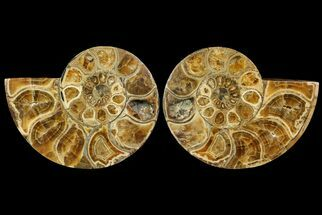 "Buy 7.8"" Honey-Orange Ammonite (Argonauticeras) - Befandriana, Madagascar - #113122"