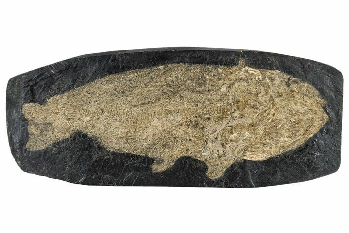 "9.1"" Eocene Fossil Fish (Amia) - Messel Shale, Germany"