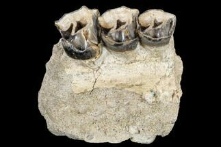 Hyracodon nebraskensis - Fossils For Sale - #113157