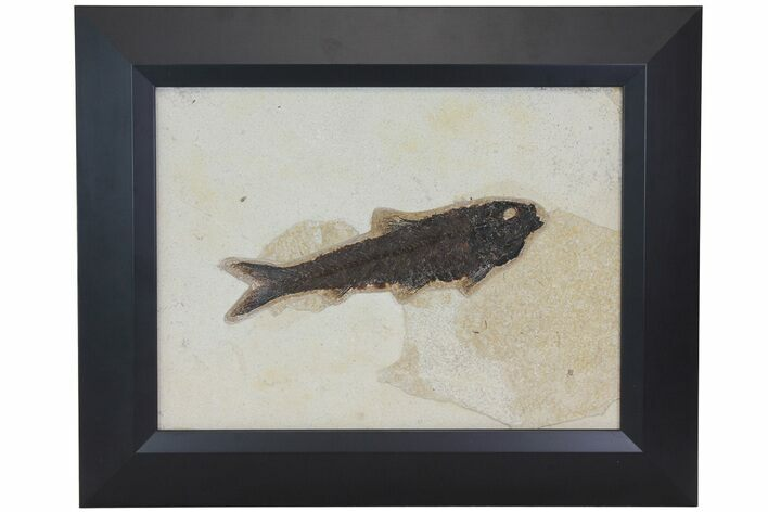 "8.1"" Framed Fossil Fish (Knightia) - Wyoming"
