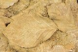 Fossil Leaves Preserved In Travertine - Austria - #113211-1