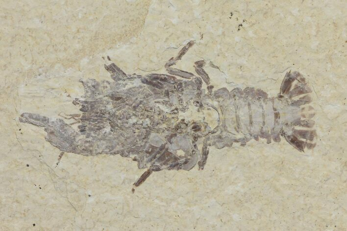 "Rare, 2.1"" Fossil Crayfish (Procambarus) - Green River Formation"