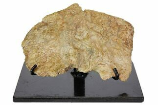 Leptosuchus sp. - Fossils For Sale - #113352