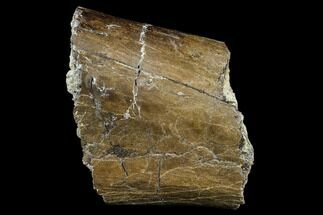 "5.1"" Hadrosaur (Edmontosaurus) Bone Section - South Dakota For Sale, #113594"