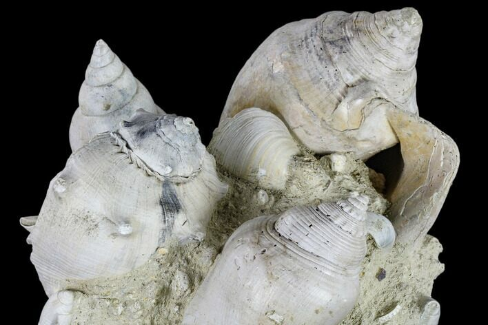"7.5"" Tall, Miocene Fossil Gastropod Cluster - France"