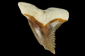 "Buy 1.25"" Fossil Shark Tooth (Hemipristis) - Bone Valley, Florida - #113782"