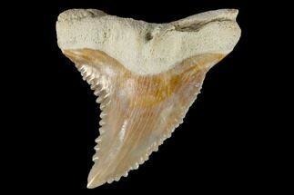 "1.45"" Fossil Shark Tooth (Hemipristis) - Bone Valley, Florida For Sale, #113783"