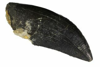 "Buy 1.9"" Serrated Allosaurus Tooth - Wyoming - #113716"