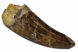 "Serrated, 1.95"" Tyrannosaur Tooth - Judith River Formation, Montana For Sale, #114008"