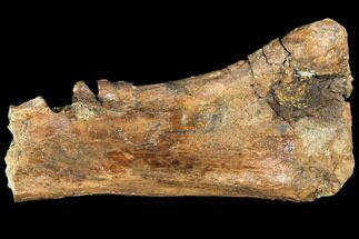 "Buy 11.1"" Hadrosaur (Edmontosaurus) Tibia Section - South Dakota - #113635"