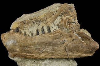 "10.6"" Cretaceous Monster Fish (Xiphactinus) Jaw - Kansas For Sale, #115082"