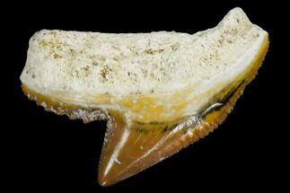 "Buy .93"" Fossil Tiger Shark Tooth - Bone Valley, Florida - #113863"
