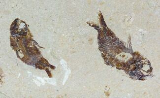 Buy Two Cretaceous Fossil Fish (Armigatus) - Lebanon - #110839