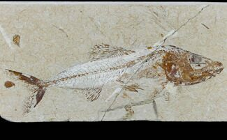 Spaniodon sp. - Fossils For Sale - #115746