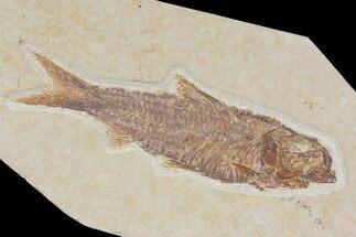 "2.95"" Detailed Fossil Fish (Knightia) - Wyoming For Sale, #115091"