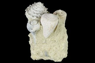 "3.5"" Tall, Miocene Fossil Gastropod Cluster - France For Sale, #113714"