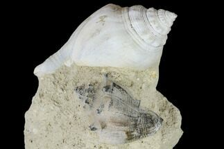 "3.1"" Tall, Miocene Fossil Gastropod Cluster - France For Sale, #113717"
