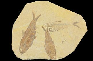 Buy Three Detailed Fossil Fish (Knightia & Diplomystus) - Wyoming - #116767