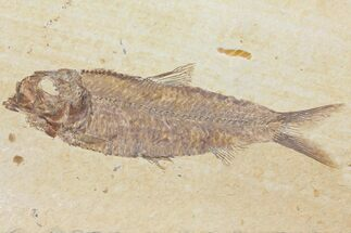 "4.3"" Detailed Fossil Fish (Knightia) - Wyoming For Sale, #116774"