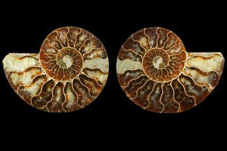 Cleoniceras - Fossils For Sale - #116793