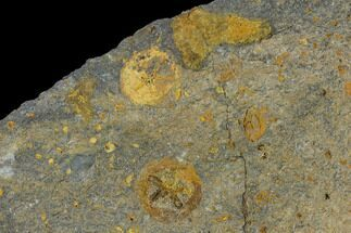 Spinadiscus lefebvrei - Fossils For Sale - #115011