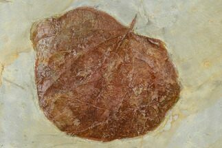 Zizyphoides flabellum  - Fossils For Sale - #115254