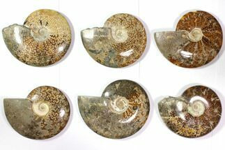 "Wholesale Lot: 6.4 - 7.2"" Polished Whole Ammonite Fossils - 6 Pieces For Sale, #116654"