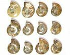 "Wholesale Lot: 3.2 - 4.3"" Polished Whole Ammonite Fossils - 22 Pieces - #116721-2"
