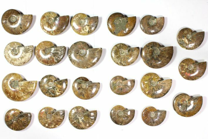 "Wholesale Lot: 3.1 - 4.4"" Polished Whole Ammonite Fossils - 23 Pieces"