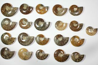 "Buy Wholesale Lot: 3.6"" to 5.4"" Polished Ammonite Fossils - 21 Pieces - #116593"