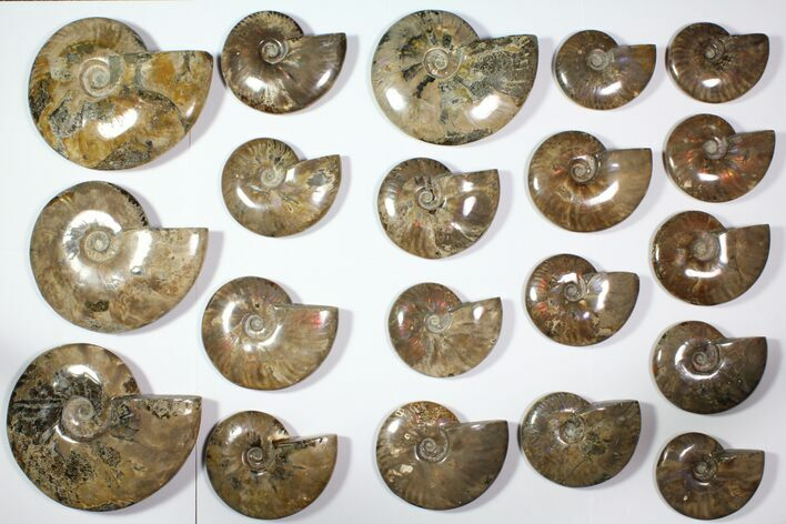 "Wholesale Lot: 4.1 - 8.1"" Polished Whole Ammonite Fossils - 20 Pieces"
