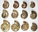 "Lot: 3.3 - 6"" Polished Whole Ammonite Fossils - 20 Pieces - #116639-2"