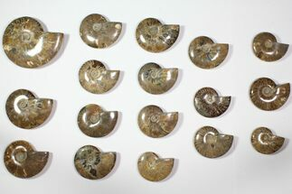 "Wholesale Lot: 3.1 - 6.1"" Polished Whole Ammonite Fossils - 17 Pieces For Sale, #116648"
